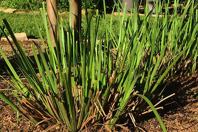 Learn about trimming back bicolor iris plants | Gardener's Path