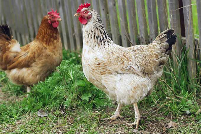 Consult our expert to learn if it's a good ideas to keep chickens in the garden | Gardener's Path