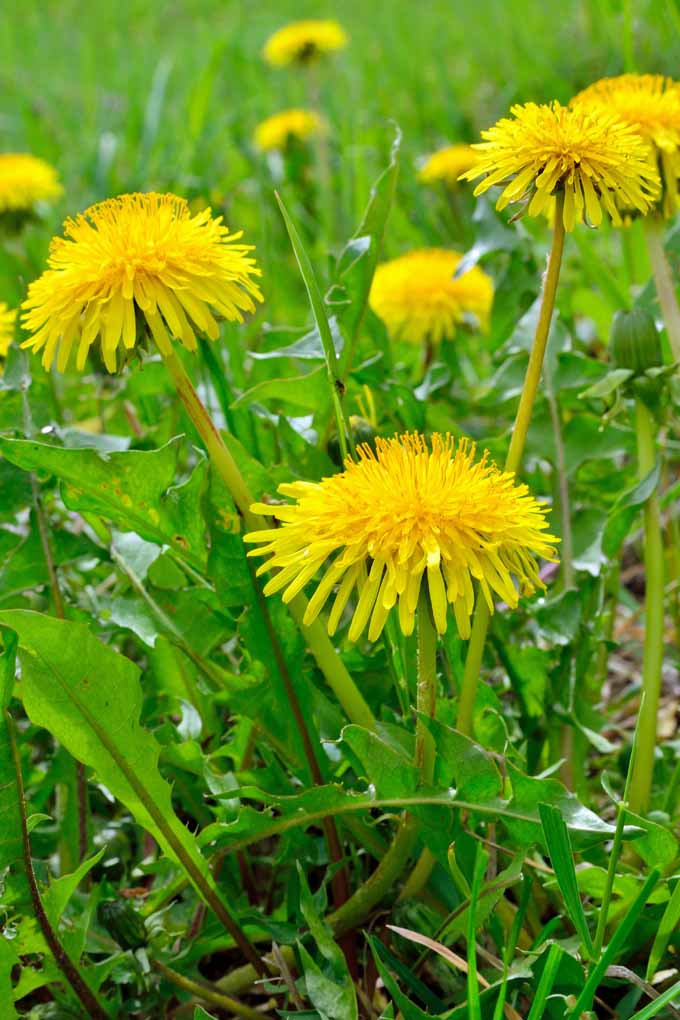 How To Use Dandelions For Food And Health Gardeners Path