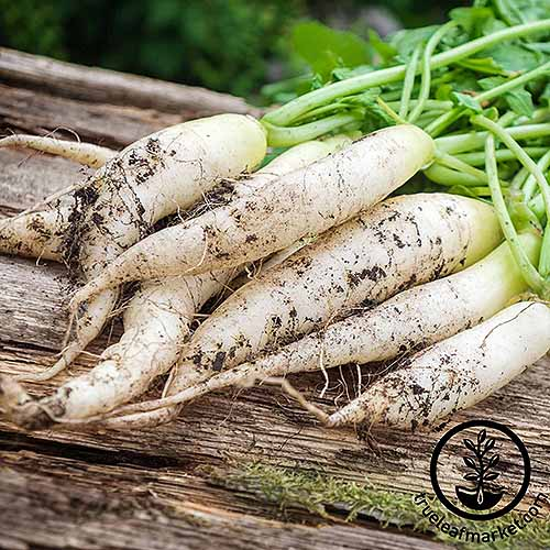 White Icicle Radish | GardenersPath.com