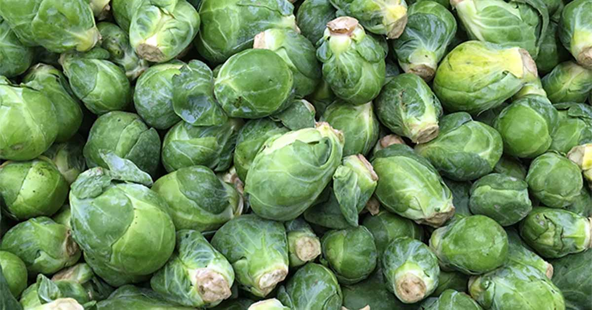 Easily grow Brussels sprouts at home | Gardener's Path