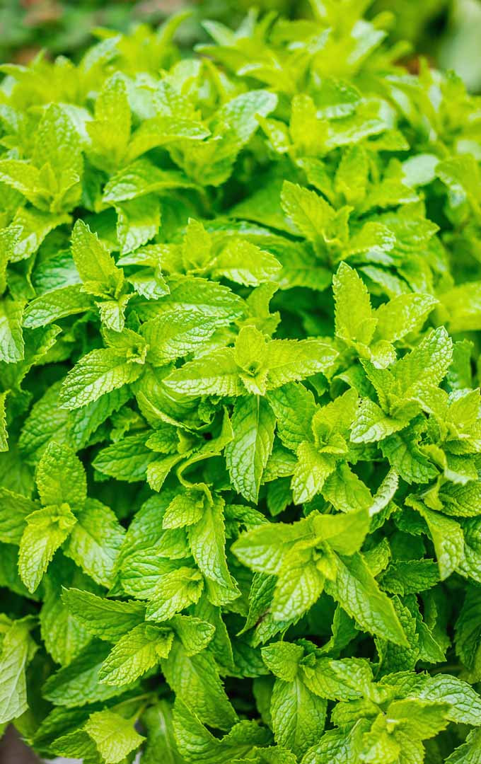 Do you know that herbs can be used as ground cover? These culinary plants will add texture in your garden and more flavor to your food. Learn more now: https://gardenerspath.com/plants/herbs/culinary-ground-cover/