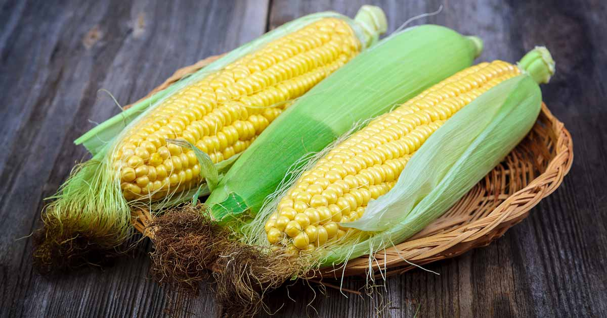 How to Grow Sweet Corn at Home | Gardener's Path