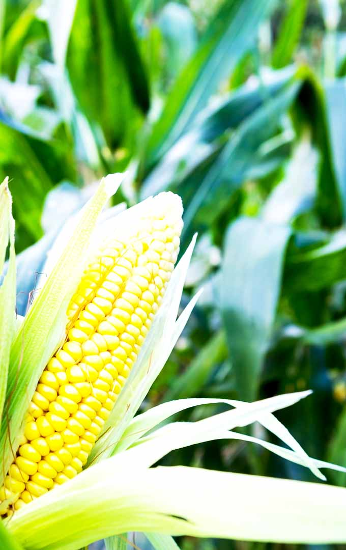 Do you love fresh corn? You can grow your own corn at home. Learn now: https://gardenerspath.com/plants/vegetables/how-to-grow-sweet-corn/