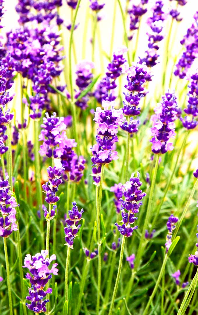 Do you know that you can grow lavender in any climate? Learn more here: https://gardenerspath.com/plants/herbs/grow-lavender/