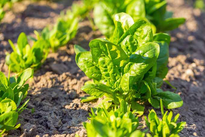 Grow Spinach In Your Garden | GardenersPath.com