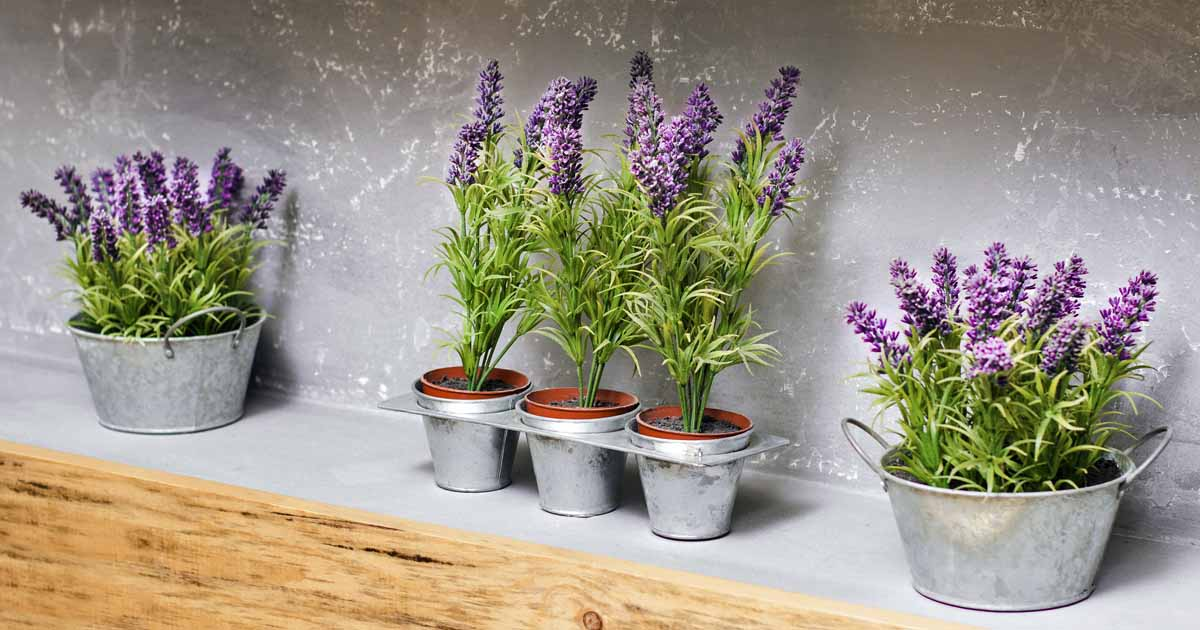 How to Grow Lavender in Every Climate | Gardener\'s Path