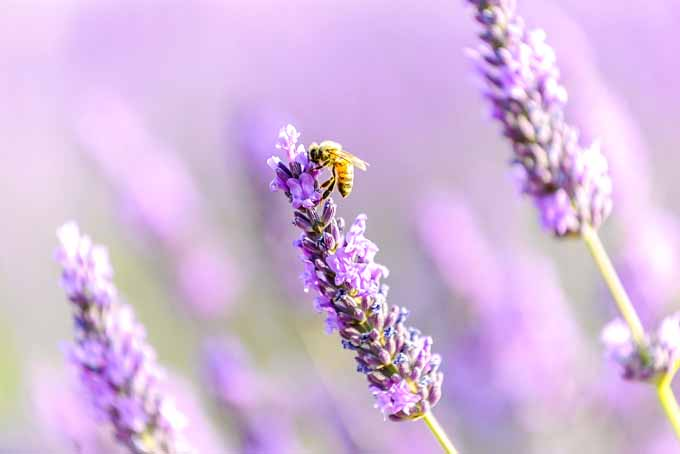 Tips on How To Grow Lavender | GardenersPath.com