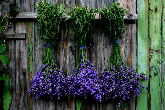 Amazing Tips On How To Grow Lavender | GardenersPath.com
