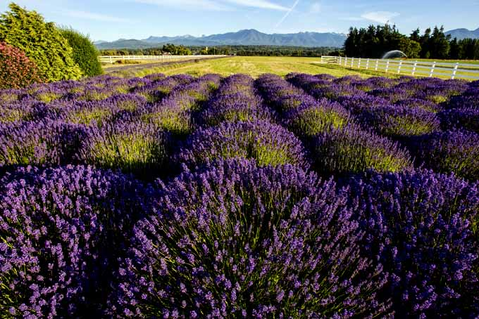 Easily Grow Lavender At Home | GardenersPath.com