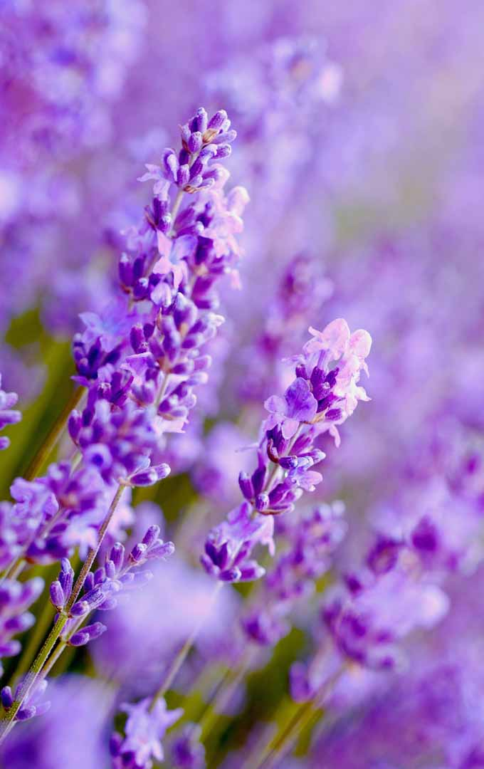 Do you want to have your own lavender patch? Learn how to easily grow them
