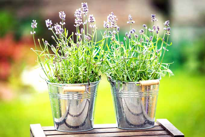Easily Grow Lavender Outdoor | GardenersPath.com