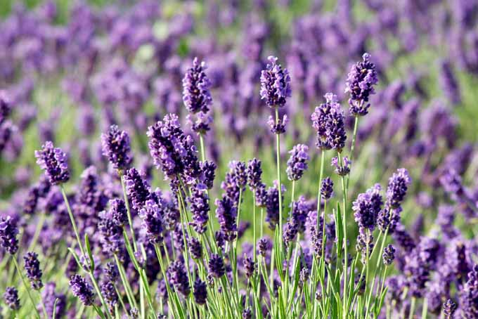 Easily Grow Lavender Anywhere | GardenersPath.com