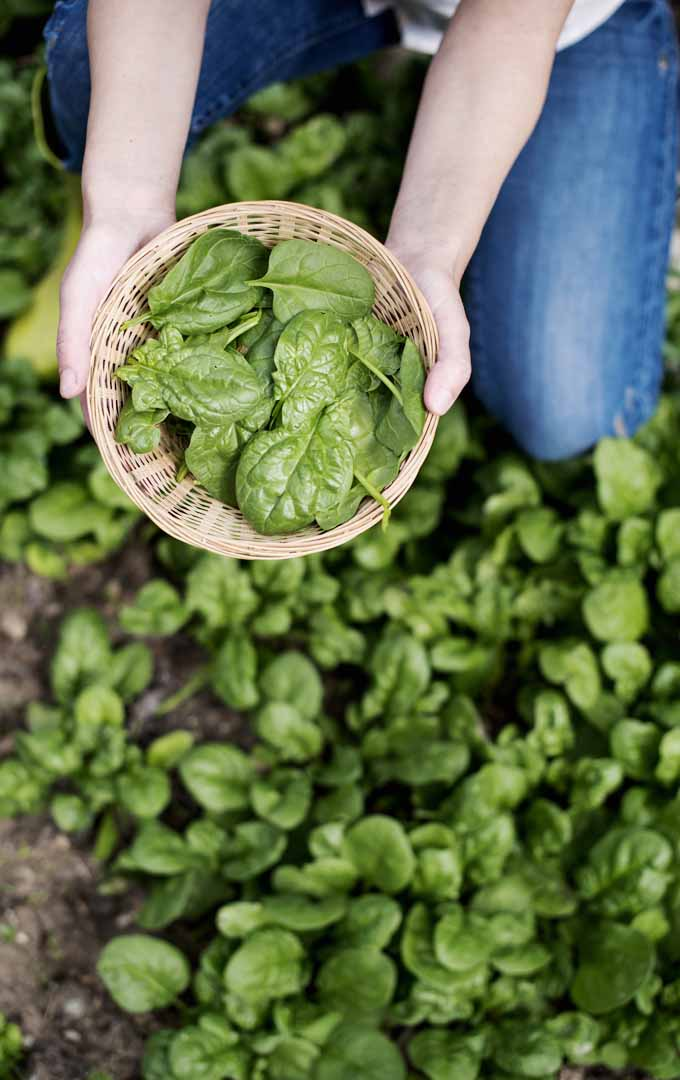 Do you want to grow your own spinach at home? Learn more about this delectable greens here: https://gardenerspath.com/plants/vegetables/grow-spinach/
