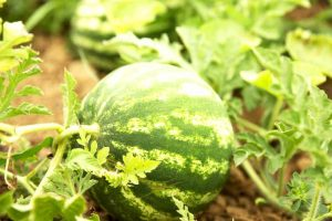 The Taste of Summer: How to Grow and Harvest Watermelons