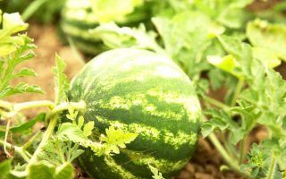 How to Grow and Harvest Watermelons | GardenersPath.com