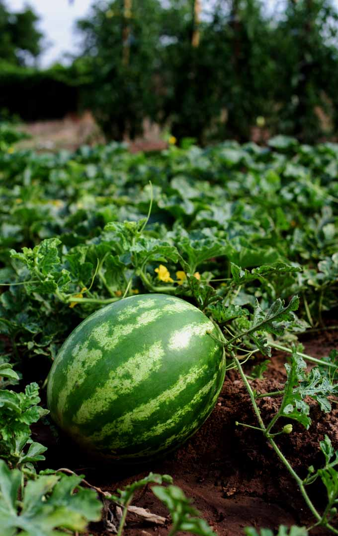 Do you love this refreshing fruit? Do you know you can plant watermelon in your garden? Learn more here: https://gardenerspath.com/how-to/beginners/grow-watermelons/
