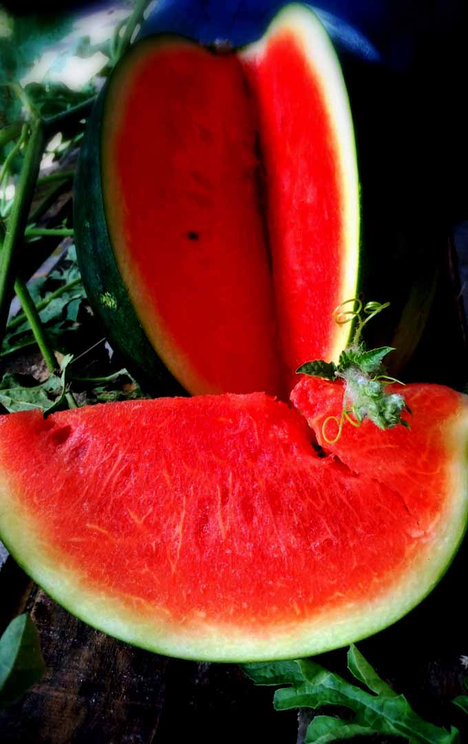 Would you want to serve fresh watermelons on your table this summer? Learn how to grow and harvest this succulent fruit right in your backyard. Read more here: https://gardenerspath.com/how-to/beginners/grow-watermelons/