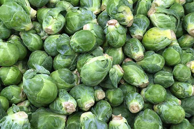 Brussels sprouts are easy to grow at home | Gardener's Path