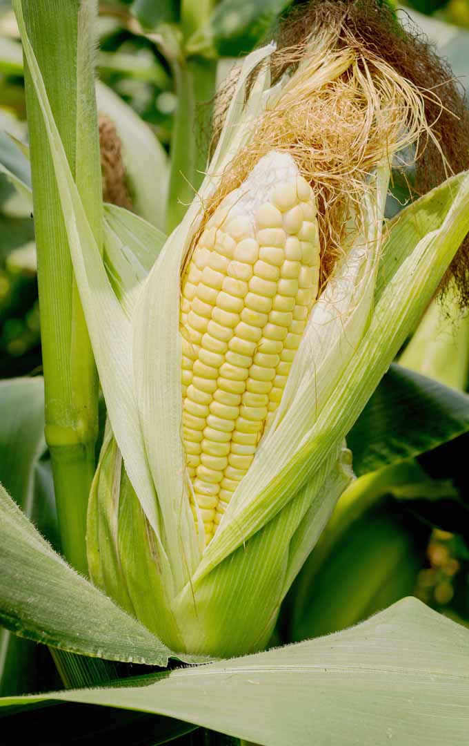 Do you want to organically grow your own corn at home? Learn how to do it the easy way now: https://gardenerspath.com/plants/vegetables/how-to-grow-sweet-corn/