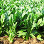 How To Grow Spinach In Your Backyard | GardenersPath.com