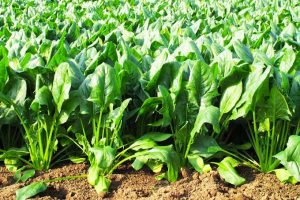 Leafy Greens for Salads and Sautees: How to Grow Spinach