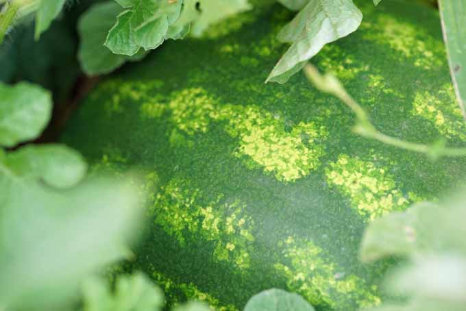 Tips on How To Grow And Harvest Watermelons | GardenersPath.com