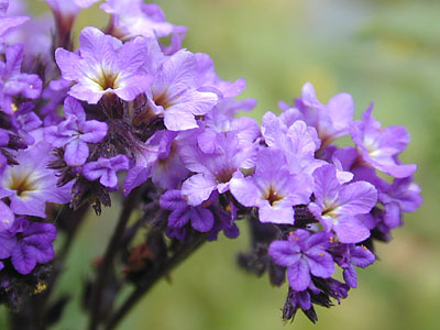 Close up of the purple flowers of the heliotrope.