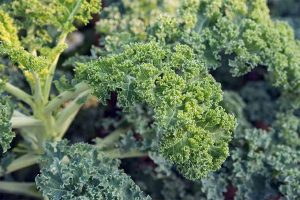 Harvest Hearty Greens from the Garden: How to Grow Kale