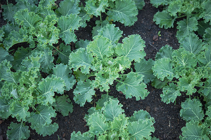 Learn how to grow kale at home | Gardener's Path