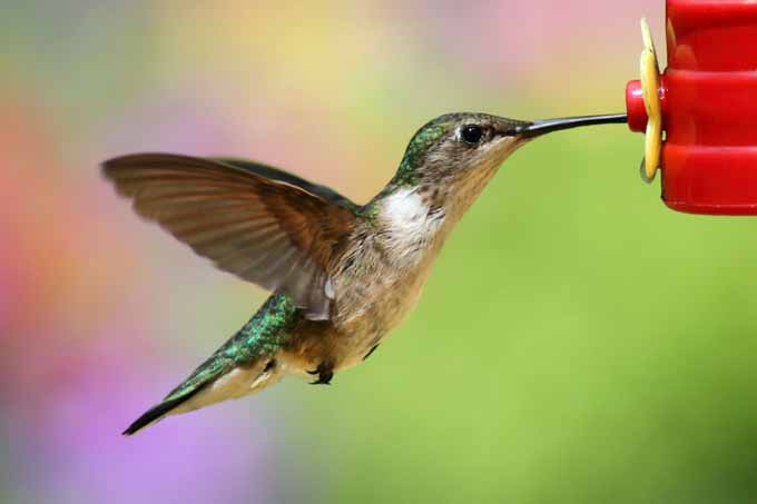A close up of a male hummingbird drinking nectar from a plastic feeder | Gardener's Path.