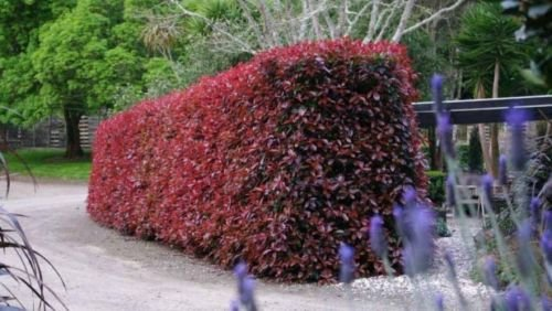 Plants grown in the north are less prone to a disease called leaf spot than  those grown in the south. - The Best Shrubs For Creating Hedges Gardener's Path