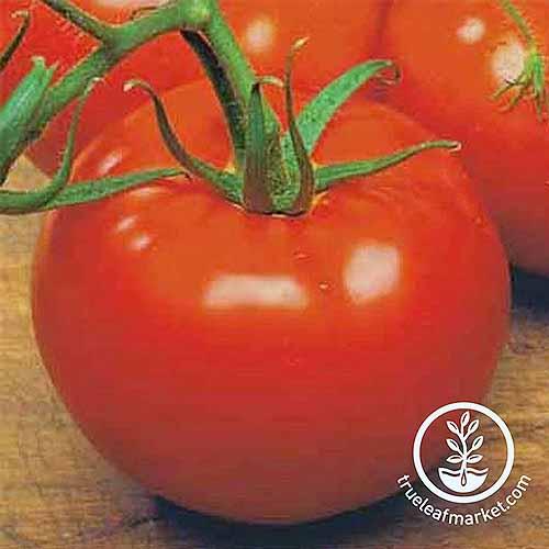 Ace 55 Cultivar | GardenersPath.com