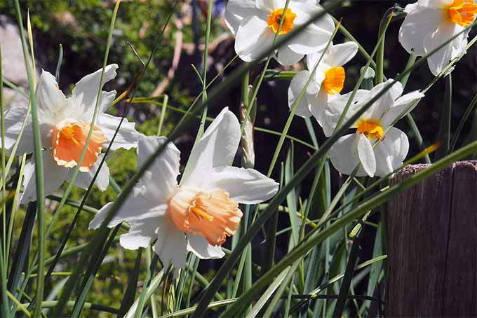 For beautiful fragrance, add plants like daffodil to your garden | GardenersPath.com