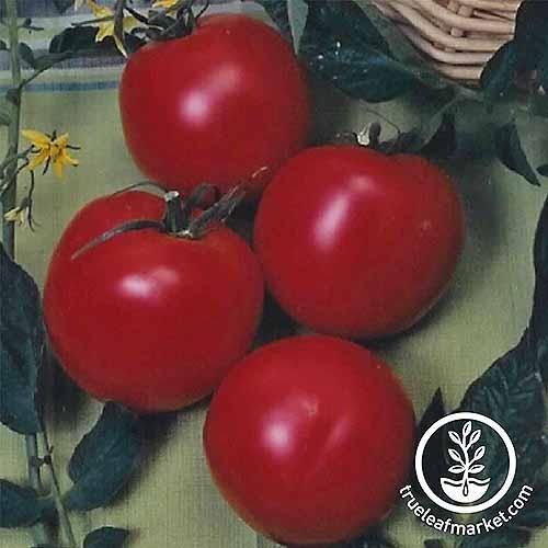 Arkansas Traveler Cultivar | GardenersPath.com