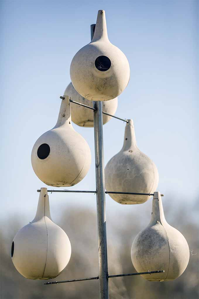 Hang gourd-shaped birdhouses to attract purple martins to your yard: https://gardenerspath.com/how-to/animals-and-wildlife/attract-purple-martins/