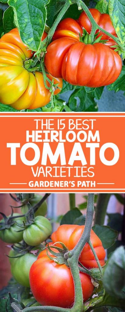Are you thinking of planting tomatoes? Consider heirloom varieties that have been enjoyed by families for generations. Colorful and bursting with robust flavor, they're healthy additions to burgers, sandwiches, and salads. Discover 15 tasty varieties in this informative article from Gardener's Path.