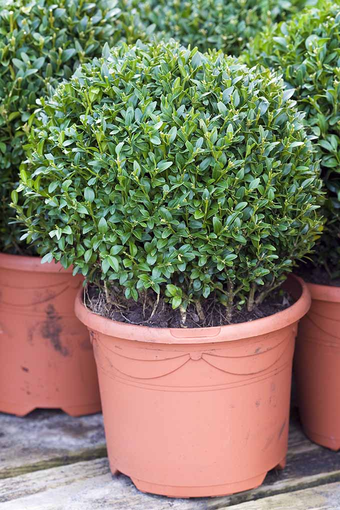The Best Shrubs For Creating Hedges Gardener S Path