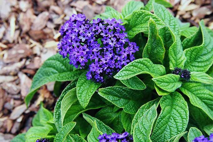 Learn which beauties are on our list of 19 fragrant plants | GardenersPath.com