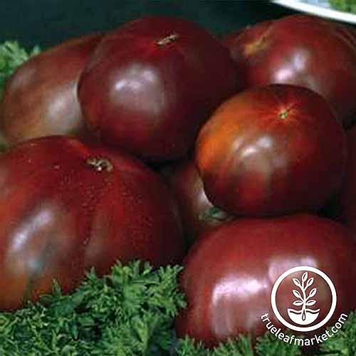 Black Russian Cultivar | GardenersPath.com