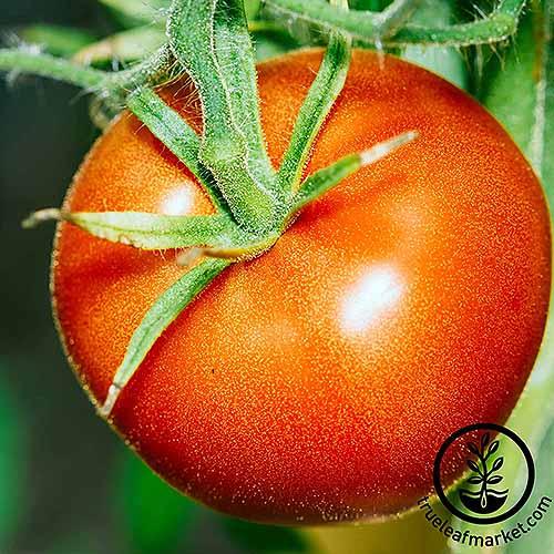 Bonny Best | GardenersPath.com