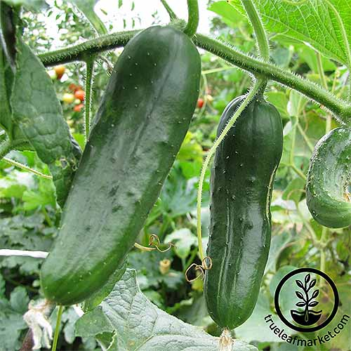 Burpless #26 Cukes and more of our favorite cultivars. | GardenersPath.com