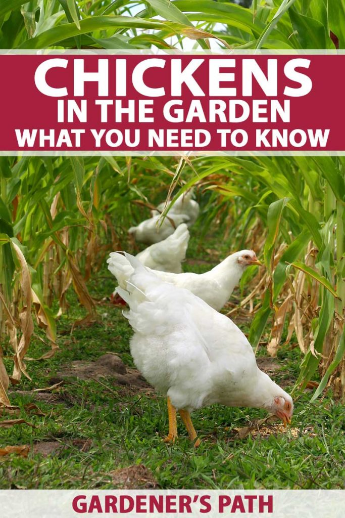 A small flock of white feathered chickens graze among mature rows of corn in veggie patch.