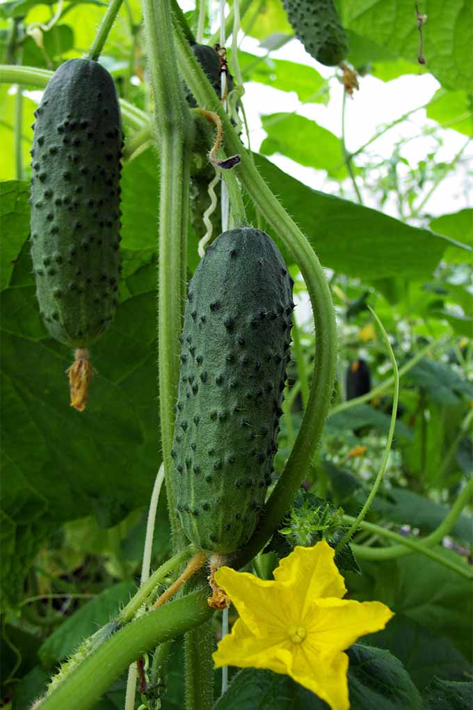 Check out our guide for cucumber varieties for every growing zone: https://gardenerspath.com/plants/vegetables/top-cucumber-varieties/