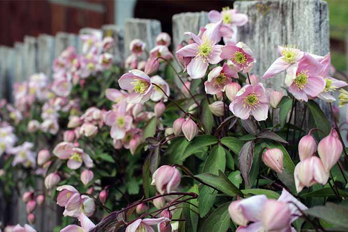 Offer proper support to clematis vines for the best result | GardenersPath.com