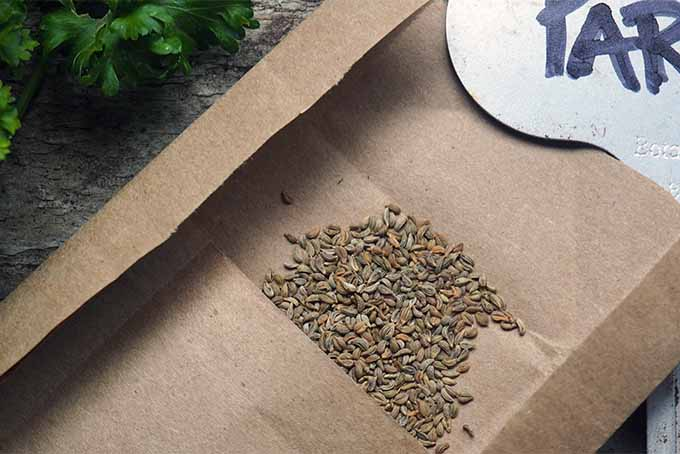 Collect parsley seeds in late summer | GardenersPath.com