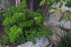 How to Grow Parsley in Your Home Herb Garden