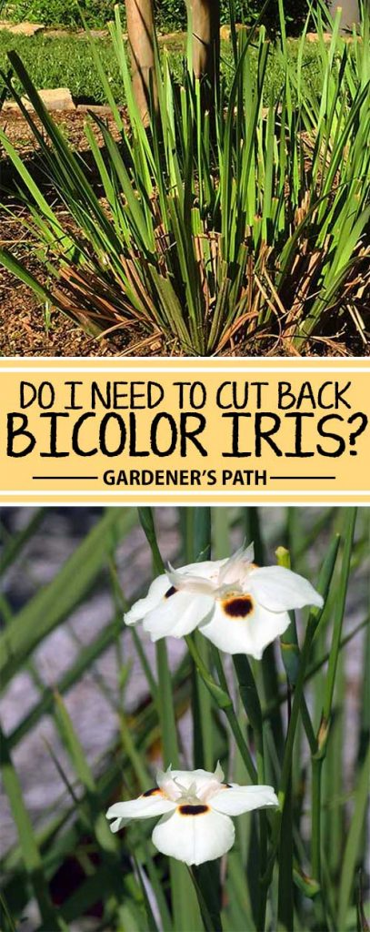 Should you cut back your bicolor or African iris every winter, as you probably do with your ornamental grasses? It depends on a few factors. Learn more about when and how now from Gardener's Path.