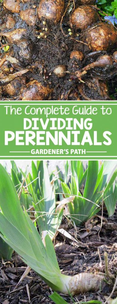 Perennials provide long-lasting garden beauty. To get the best performance and value from these landscape stalwarts, the simple task of plant division serves many purposes. Learn more about the plant health, garden design, and budget-boosting benefits of dividing perennials – read more now on Gardener's Path.