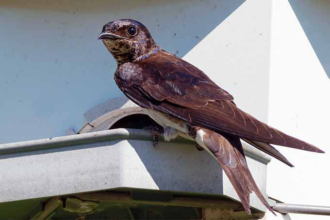 Erect proper housing in the right place and you may attract purple martins | GardenersPath.com